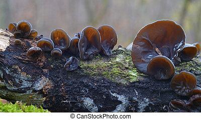 Auricularia auricula-judae fungus - Auricularia...