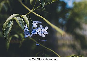 auriculata, plumbago, bleu, plante, gros plan, extérieur
