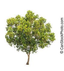 auriculiformis, auri, e, acacia, communément, earleaf, connu...
