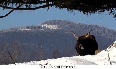 aurochs - Bos primigenius