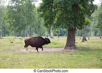 Aurochs in the wild outdoors