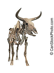 The skeleton of an extinct Aurochs on a white background