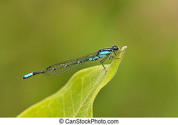 Aurora damselfly - Turquoise aurora damselfly resting on a...
