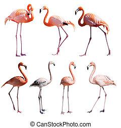 aus, flamingoes., freigestellt, satz, weißes