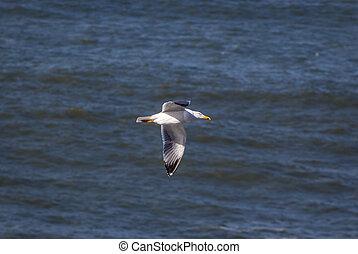 aus, fliegendes, möwe, portugal, meer