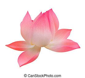 aus, freigestellt, ledig, lotos, weißes