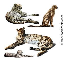 aus, freigestellt, satz, cheetah., weißes