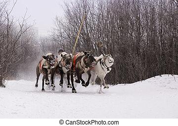 aus, schnee, mannschaft, skims, rein-deers, path.