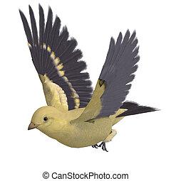ausschnitt, aus, goldfinch., übertragung, weibliche , pfad, schatten, weißes, 3d