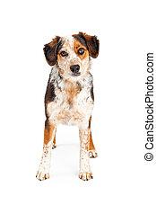 Aussie Dog Standing Looking Forward - A beautiful Australian...