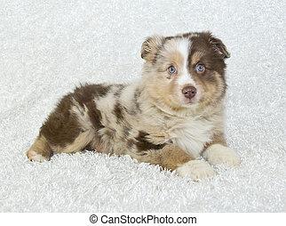Aussie Puppy - A sweet Australian shepherd puppy on a white...