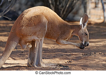 austrália, canguru vermelho