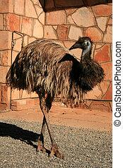 austrália, centro, -, emu, pássaro, vermelho