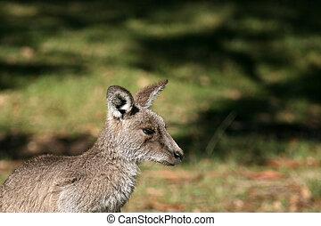 austrália cinzento, canguru