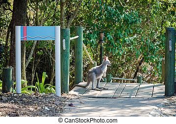 austrália, plataformas, canguru, parque, lado, ou, olha, pequeno, wallaby, nacional