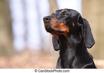 austríaco, bronceado, sabueso, perro negro