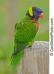 Austrailian rainbow lorikeet.
