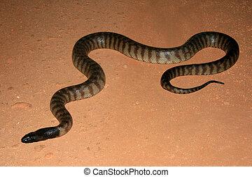 australië, gekopt, python, nationale, -, water park, black...