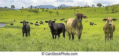 australiër, landbouw, slachtvee, panorama, landscape