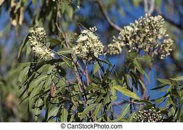 australia, botanik