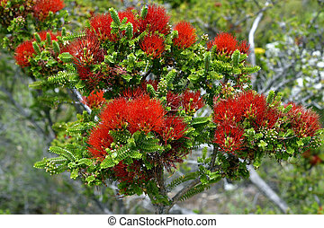 Australia, Botany, Bottlebrush - Australia, sand bottlebrush