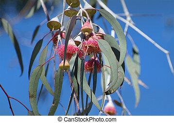 Australia Botany - Gungurru - flowering eucalyptus
