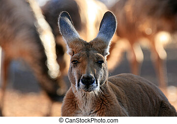 australia, canguro rosso
