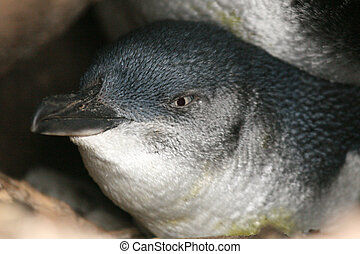 australia, -, melbourne, c/, kilda, hada, pingüino