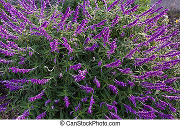 australia, mexicano, jardín, púrpura, sabio, arbusto, tasmania, sombra, flores