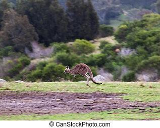 australia, nacional, park., eurobodalla, canguros, nsw., ...