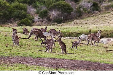 australia, nacional, park., eurobodalla, canguros, nsw.,...