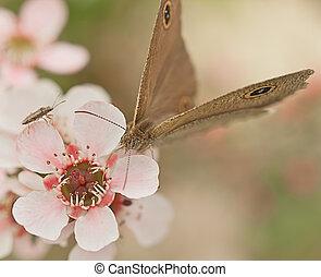 Australia native flower pink leptospernum and butterfly...