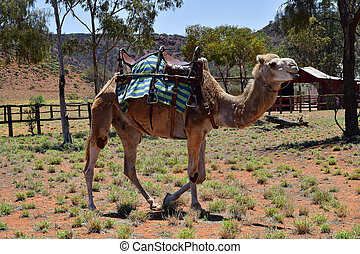 australia, nt, kamel, bauernhof