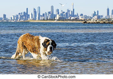 australia, perro, c/, melbourne, bernard, playa, natación