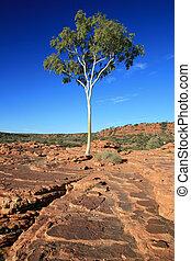 australia, solitario, nacional, -, árbol, parque, cañón, watarrka, reyes