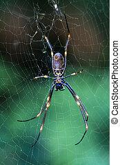 australia, wyspa, fraser, -, pająk, unesco