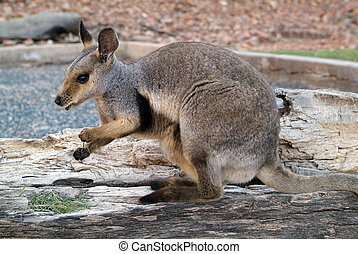 australia, zoologie