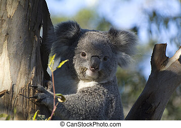 Australia, Zoology - Australia, Koala