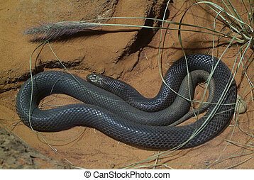Australia, Zoology  - dangerious fierce snake