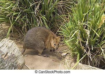 Australia Zoology - Quokka - small kangaroo