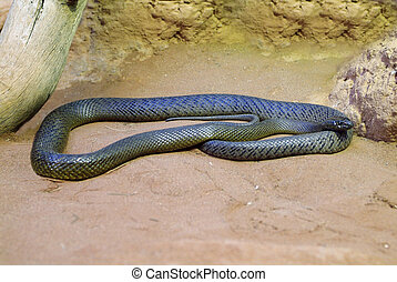 Australia Zoology - Taipan - Fierce Snake