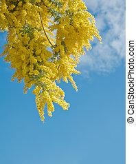 Australian acacia - Australian Wattle blooms against the...