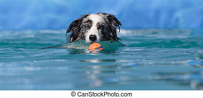 Australian border collie swims with a toy in a pool in...