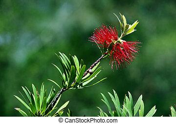 australian bottlebrush - red bottlebrush in bloom in a ...