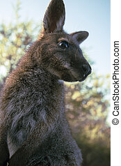 Australian bush wallaby outside during the day. - Closeup of...