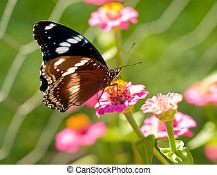 Australian butterfly Common eggfly live species - Australian...