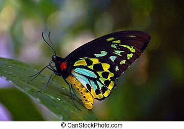 Australian butterfly - Butterfly native to Australia