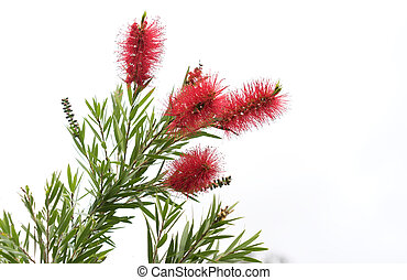 Australian Callistemon Flowers - Australian natural ...