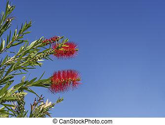 Australian Callistemon in flower - Red australian ...