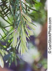 Australian callistemon leaves (also called bottle brush plant)